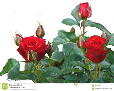 imagenes hermosas brillantes rosas rojas brillantes hermosas aisladas fotograf 237 a de
