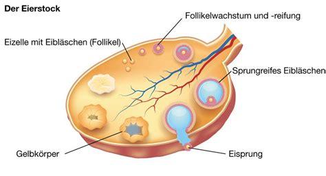 wann ist in der regel der eisprung die ovulation eisprung inopharm gmbh