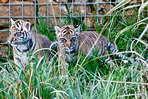 photos of the day tiger cubs cable