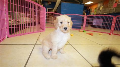 doodle puppies for sale in ga huggable goldendoodle puppies for sale in ga at puppies