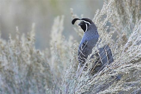 california quail in nevada flickr photo sharing