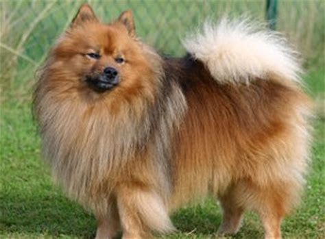 german spitz and pomeranian differences the klein german spitz is 9 to 11 inches to shoulders and weighs 18 to 22