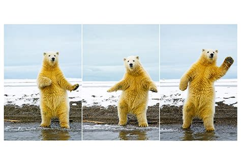 dancing polar bear meme 28 images dancing polar bear