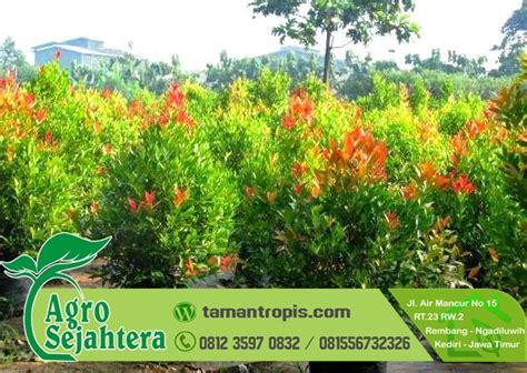 Jual Bibit Bunga Zephyranthes jual bunga pucuk merah