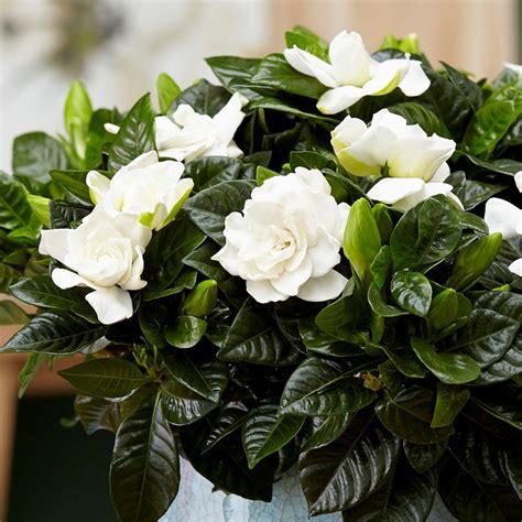 buy gardenia gardenia jasminoides delivery  waitrose garden
