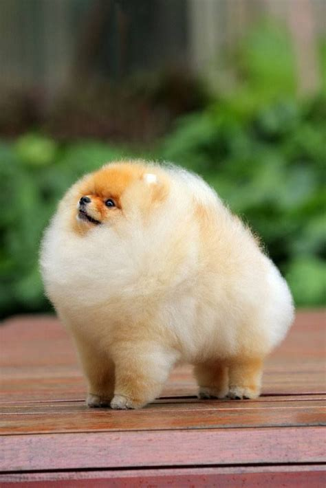 picture of pomeranian 25 best ideas about pomeranian haircut on