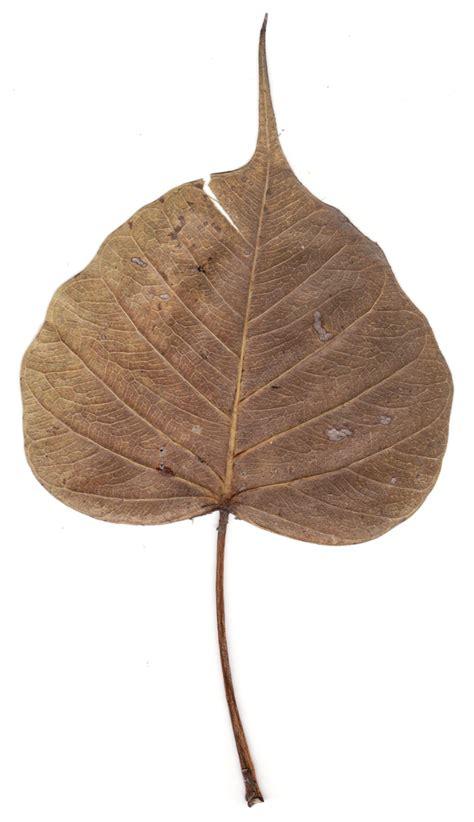 Bodhi Leaf bodhi leaf a photo on flickriver