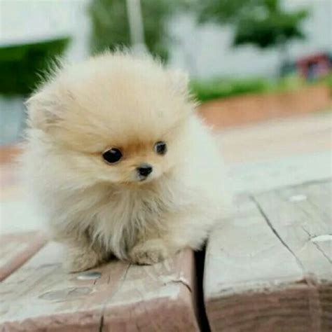 how do teacup pomeranians live 141 best images about adorable tea cup puppies on tiny