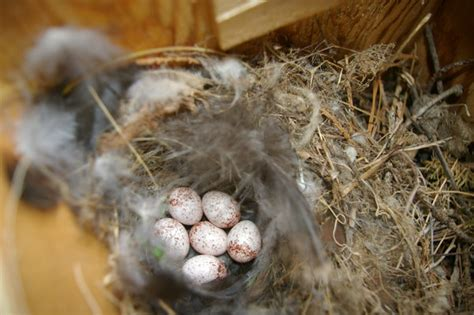 house wren eggs day 3 by rikw on deviantart
