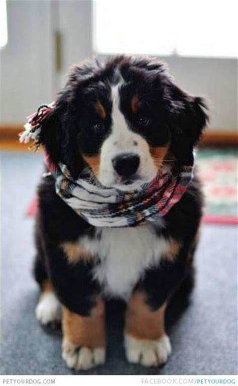 Bernedoodle puppies bernedoodle puppy with a