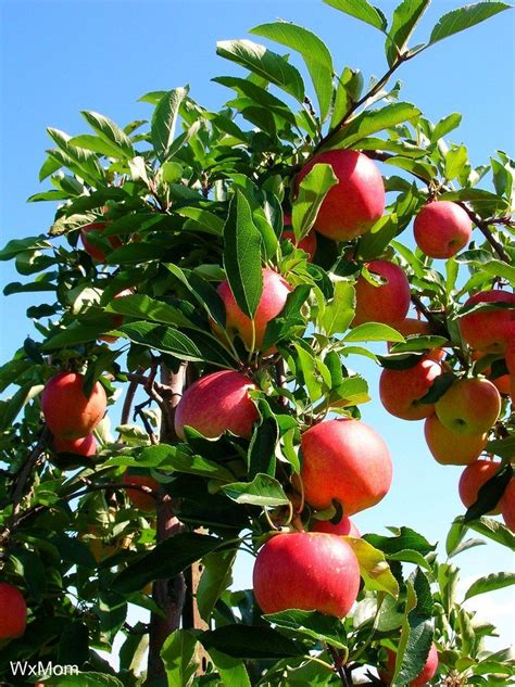 growing apples learn about cross pollination between