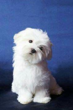 shichons haircut maltichon hybrid dogs hundar