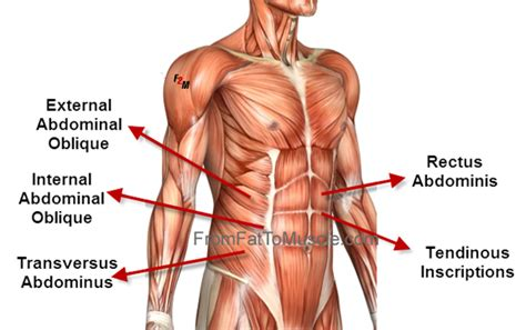 abdominal oblique muscle group graphic holistic hernia remediation