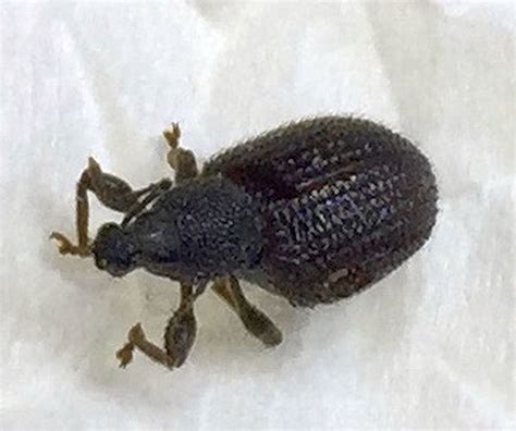 bed bugs halifax bed bugs halifax broad nose short snouted weevil pest