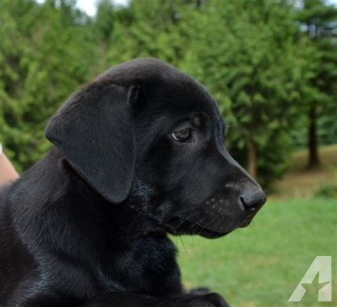 labrador retriever puppies for sale in pa labrador retriever black puppies for sale in pa keystone puppies breeds picture