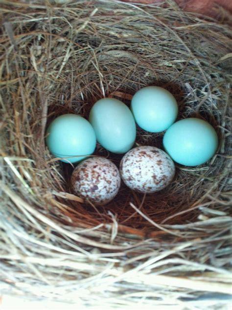 bluebird eggs color 28 images those delightful babies