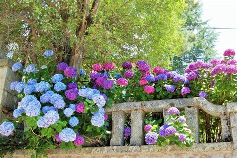 imagenes de jardines con hortensias hydrangea macrophylla u hortensia