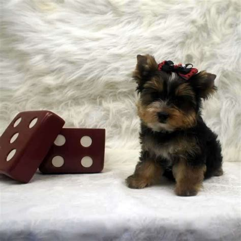 toys for yorkies yorkies for sale yorkie for sale brad