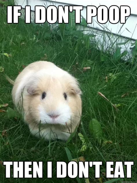 Guinea Pig Meme - funny guinea pig jokes memes