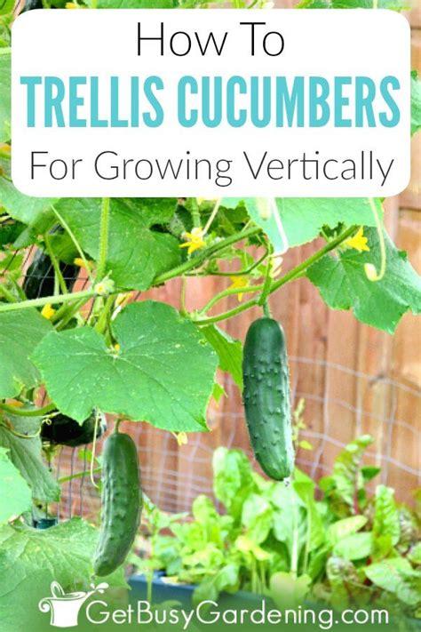 growing cucumbers   trellis   grow cucumbers