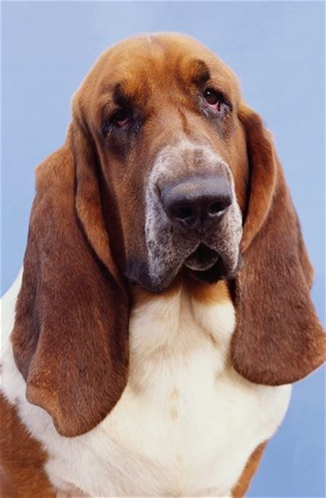 basset hound puppies for sale wi basset hound pictures 659087