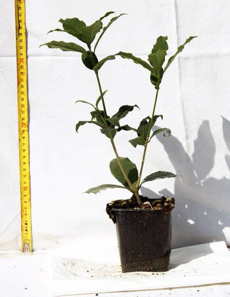 olea fragrans in vaso produzione vendita e piantumazione di piante ornamentali