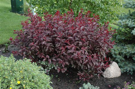 purple leaf plum prunus x cistena in edmonton st albert sherwood park stony plain alberta ab