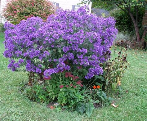 shrub with purple flowers purple flowering shrub shrubs