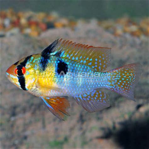 freshwater ram tropical freshwater aquarium fish ram