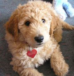 goldendoodle puppy progression this is the type of and i are getting a black