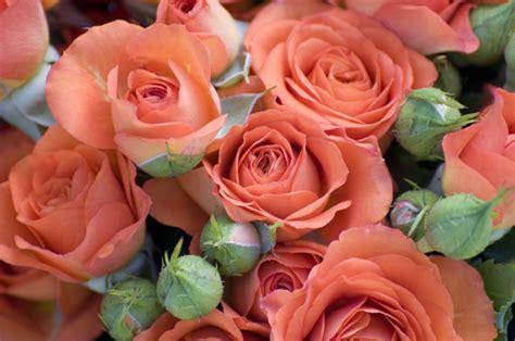 Rose Flower Images by Afbeelding Roos Bloemen Nederland