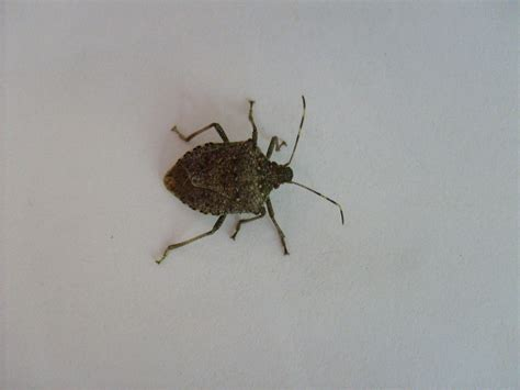 Name A Bug To Find In Their House Simplest Way To Eliminate Stink Bugs Indoors Farm And Dairy