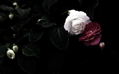 Black Rose Themes | black rose wallpaper wallpaper ideas