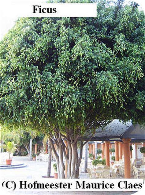 Ginseng Per Ons ficus benjamina een zeer veel gebruikte kamerplant in