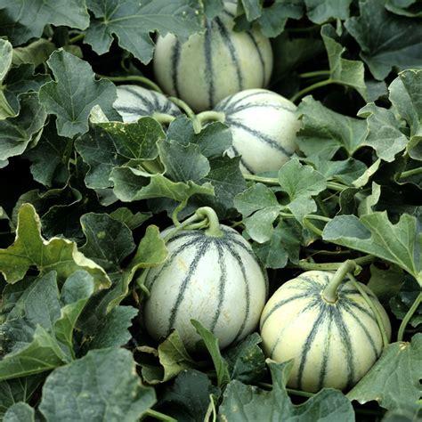 Plantation De Melon melon planter et cultiver ooreka