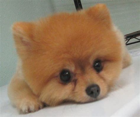 good razor for teddy bear cut 40 best images about because i have a pom on pinterest