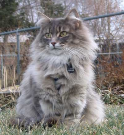 Winterfyre Norwegian Forest Cats