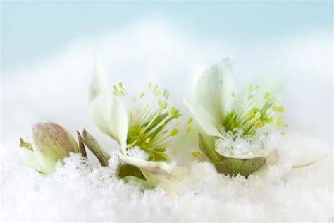 rosa d inverno fiore piante invernali come coltivarle