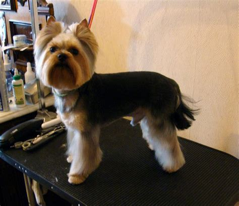yorkie terrier hairstyles image gallery terrier haircuts
