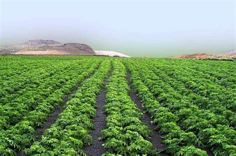 imagenes de esparragos verdes cultivo de esp 225 rragos en el huerto agrom 225 tica