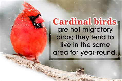strikingly interesting facts about the popular cardinal birds