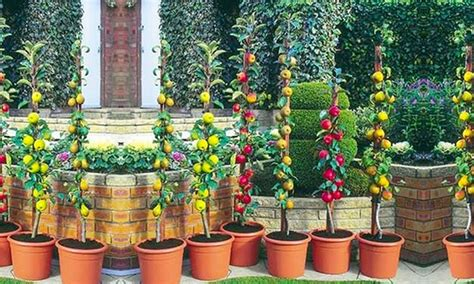 Patio Trees Uk by Patio Pillar Fruit Trees 67 Groupon Goods