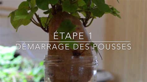 Culture De La Patate Douce by Comment Cultiver La Patate Douce