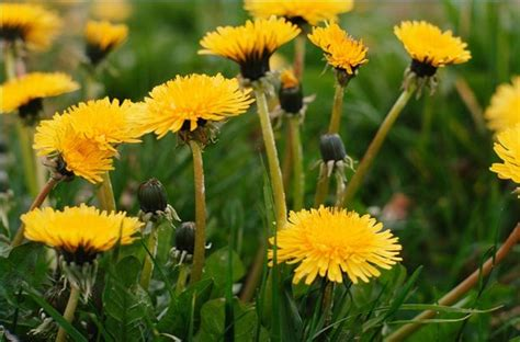 dandelion facts infographic dandelion pharmacology plantamex canada