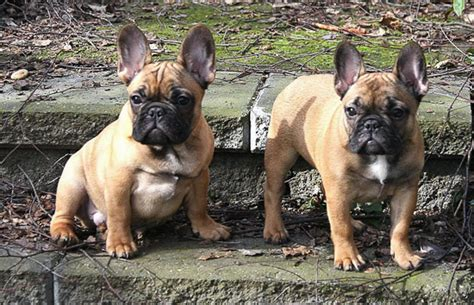 craigslist inland empire puppies bulldog puppies for sale in the inland empire