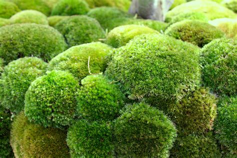 maybe moss the frustrated gardener