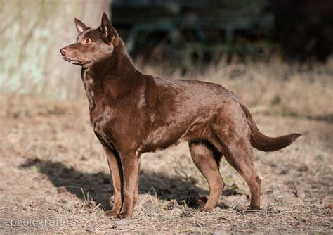 bench kelpie domestic breeds with known or suspected wild ancestry