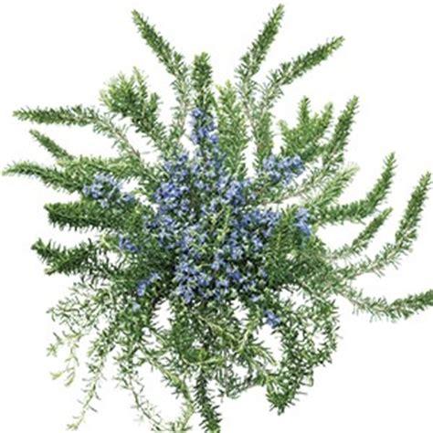 rosmarino prostrato in vaso piante ed erbe aromatiche rosmarino prostrato acquistare