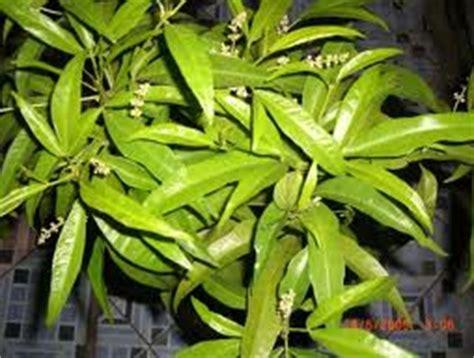Jual Bibit Tanaman Pengusir Nyamuk harga tanaman pengusir nyamuk tanamanbaru