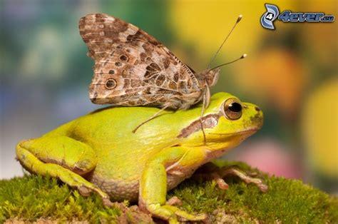 le schmetterling frosch